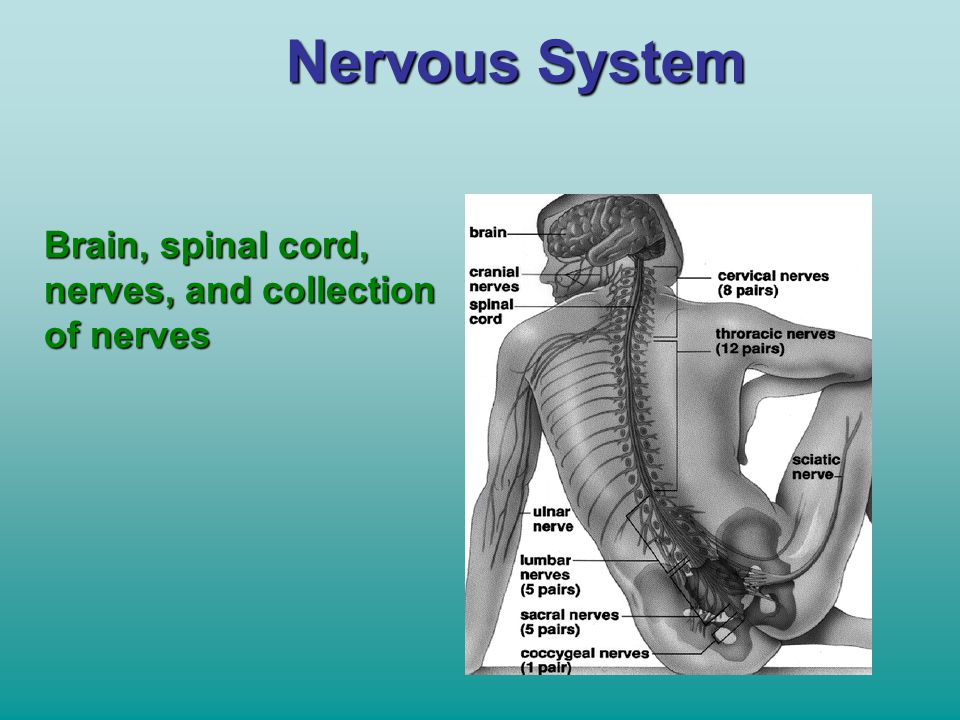 Nervous System Brain, spinal cord, nerves, and collection of nerves