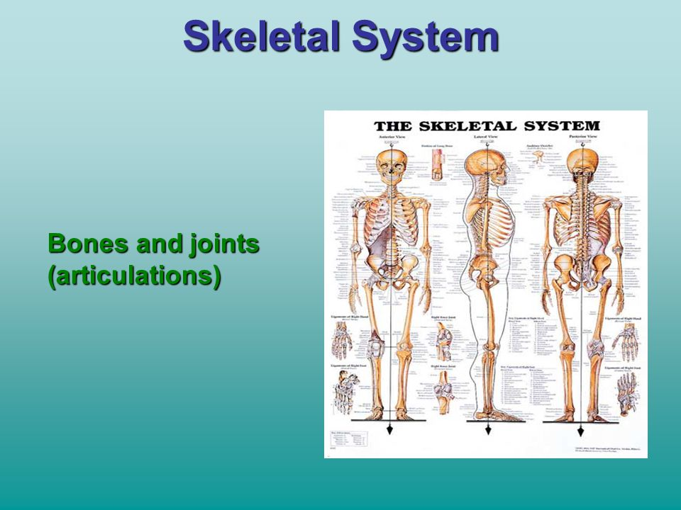 Skeletal System Bones and joints (articulations)