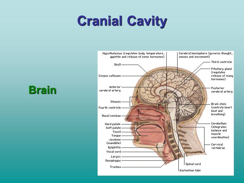 Cranial Cavity Brain