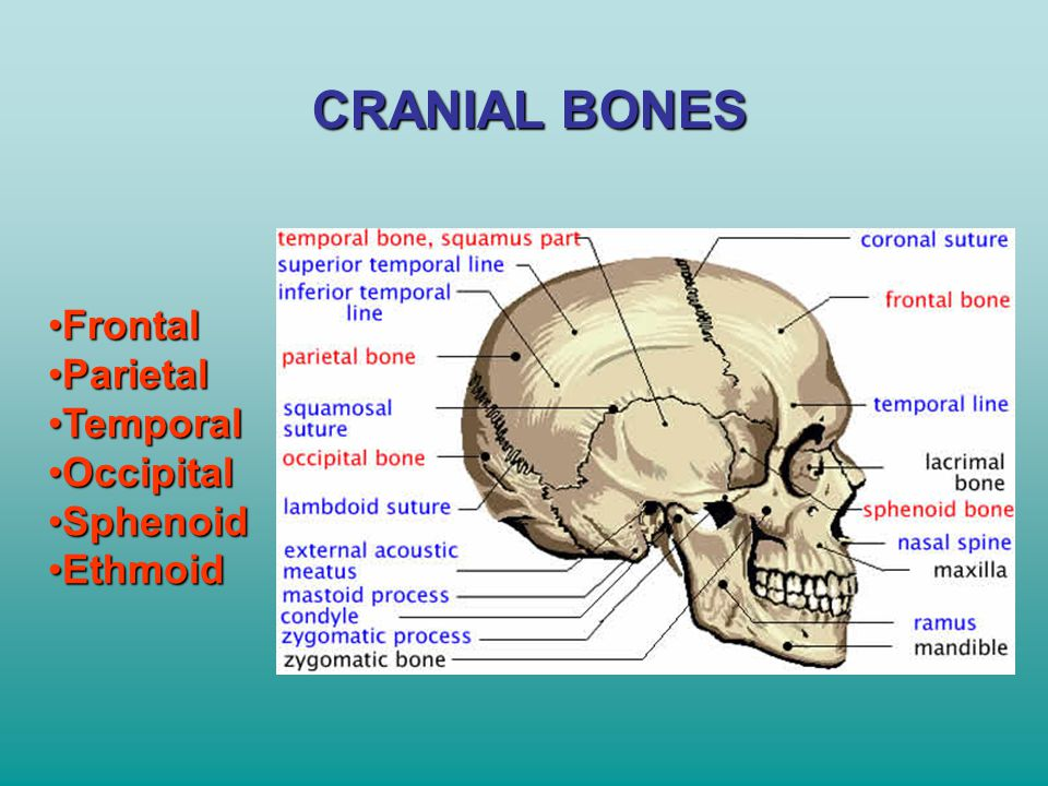 CRANIAL BONES Frontal Parietal Temporal Occipital Sphenoid Ethmoid