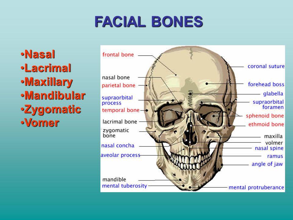 FACIAL BONES Nasal Lacrimal Maxillary Mandibular Zygomatic Vomer