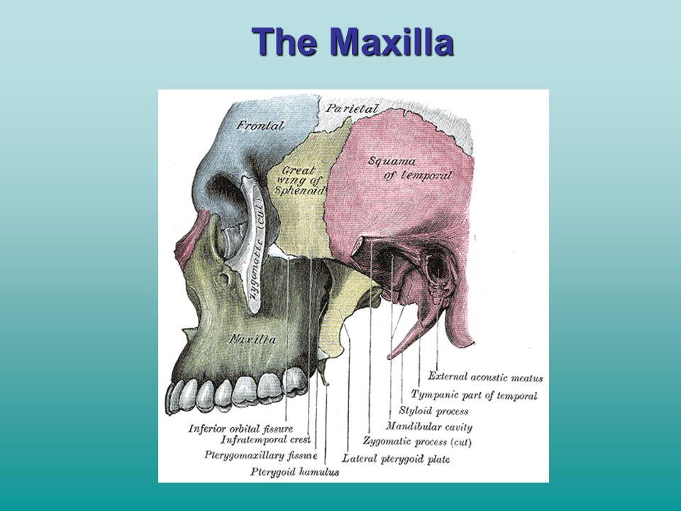 The Maxilla