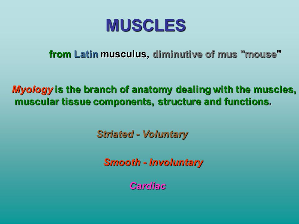 MUSCLES from Latin musculus, diminutive of mus mouse