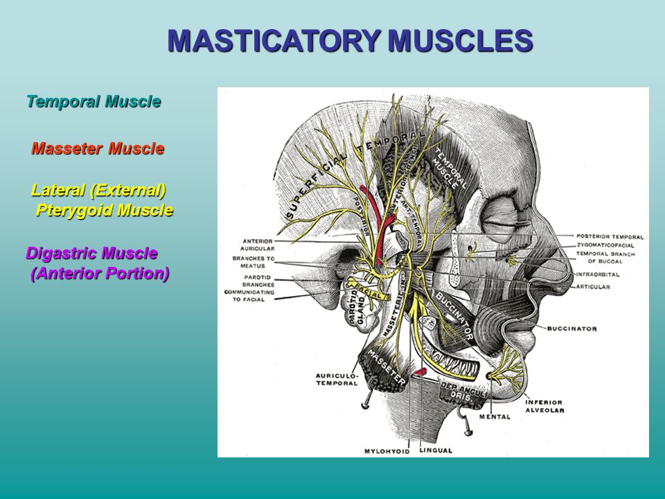 MASTICATORY MUSCLES Temporal Muscle Masseter Muscle Lateral (External)