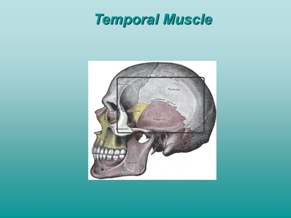 Temporal Muscle