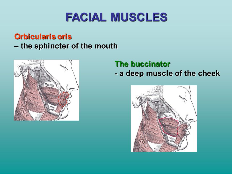 FACIAL MUSCLES Orbicularis oris – the sphincter of the mouth