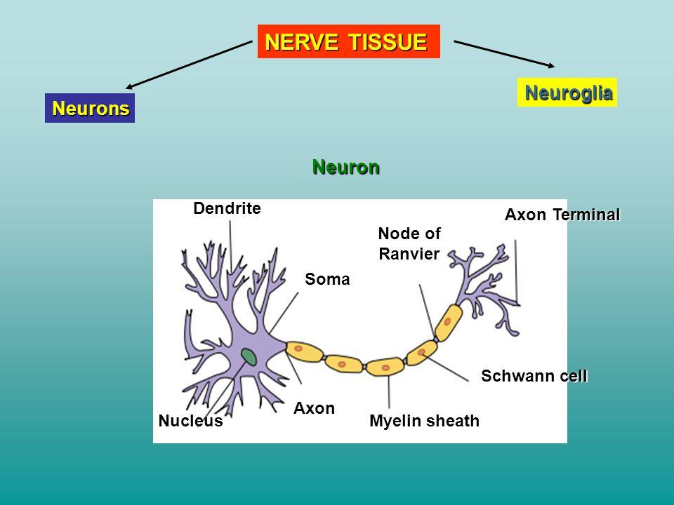 NERVE TISSUE Neuroglia Neurons Neuron Dendrite Nucleus Axon Soma