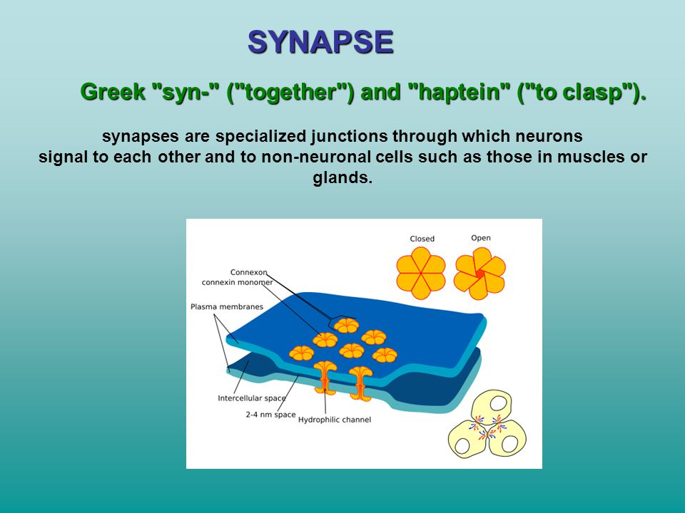 synapses are specialized junctions through which neurons
