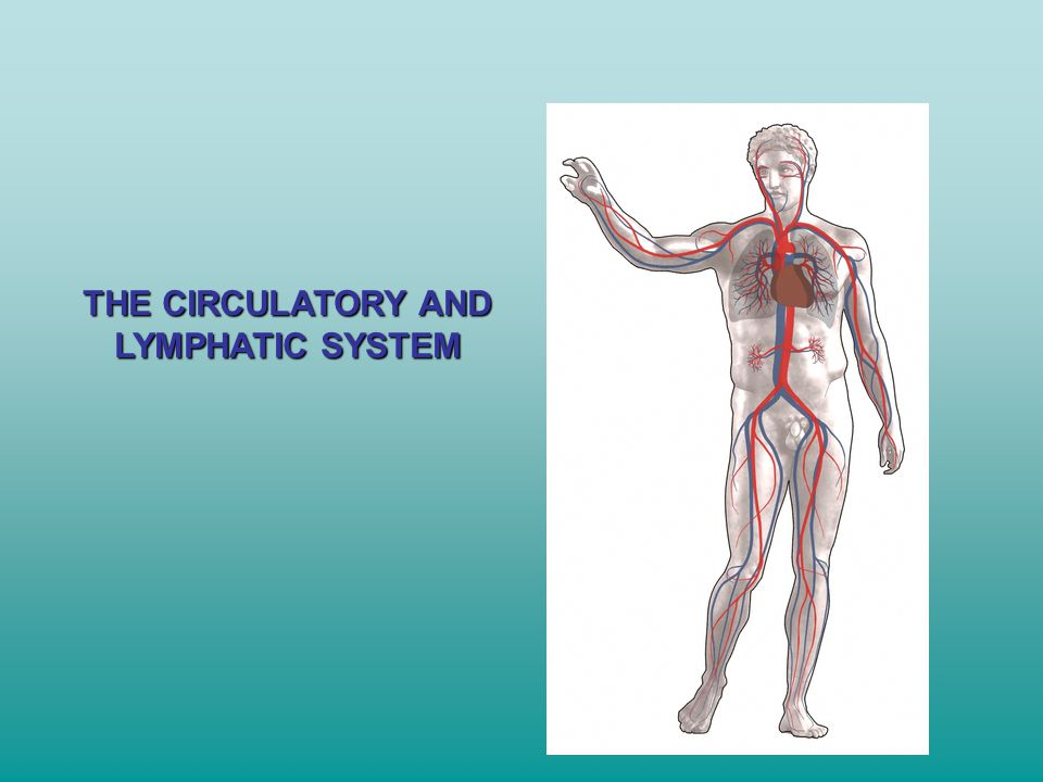 THE CIRCULATORY AND LYMPHATIC SYSTEM