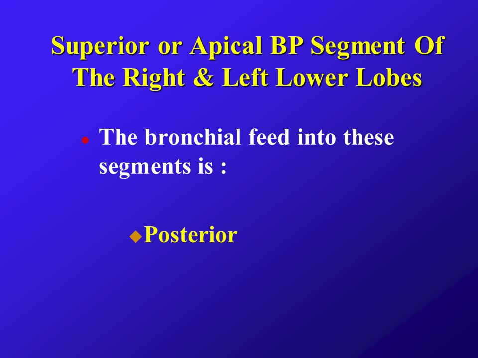 Superior or Apical BP Segment Of The Right & Left Lower Lobes