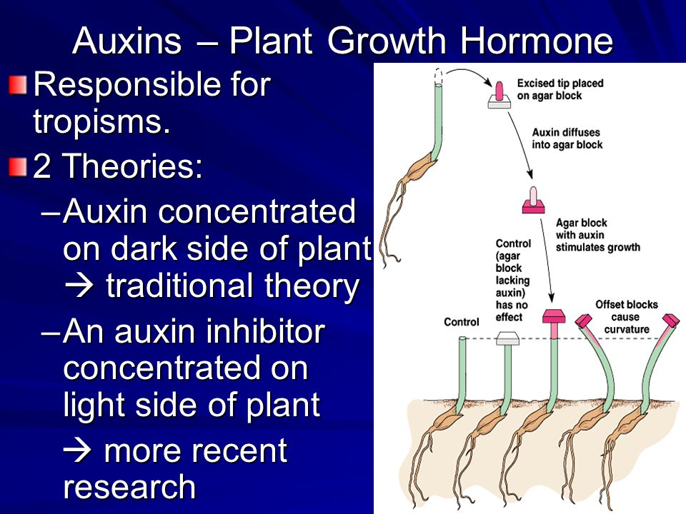 Auxins – Plant Growth Hormone