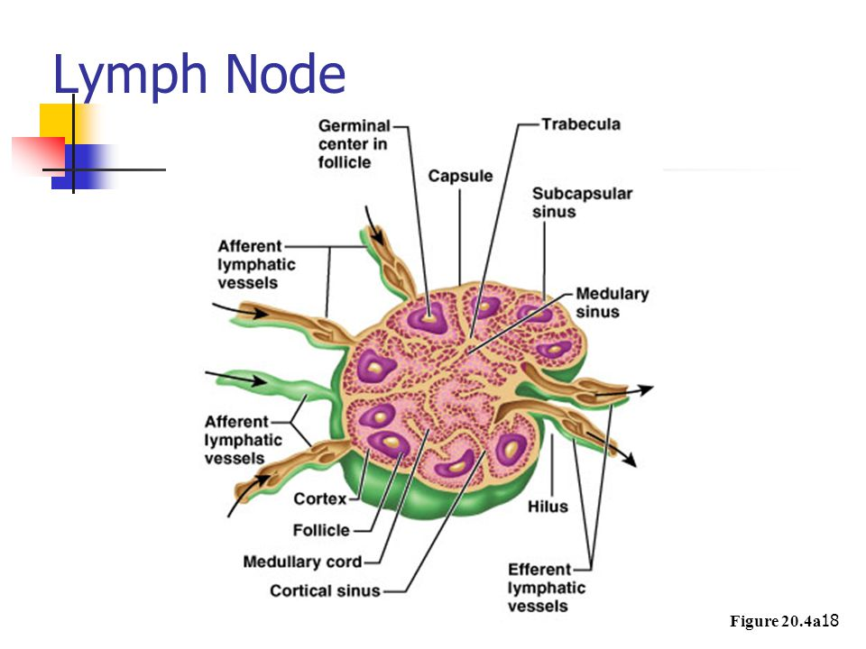 Lymph Node Figure 20.4a