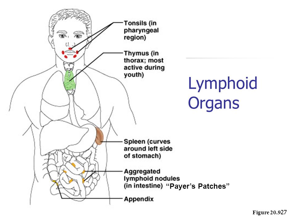 Lymphoid Organs Payer's Patches Figure 20.9
