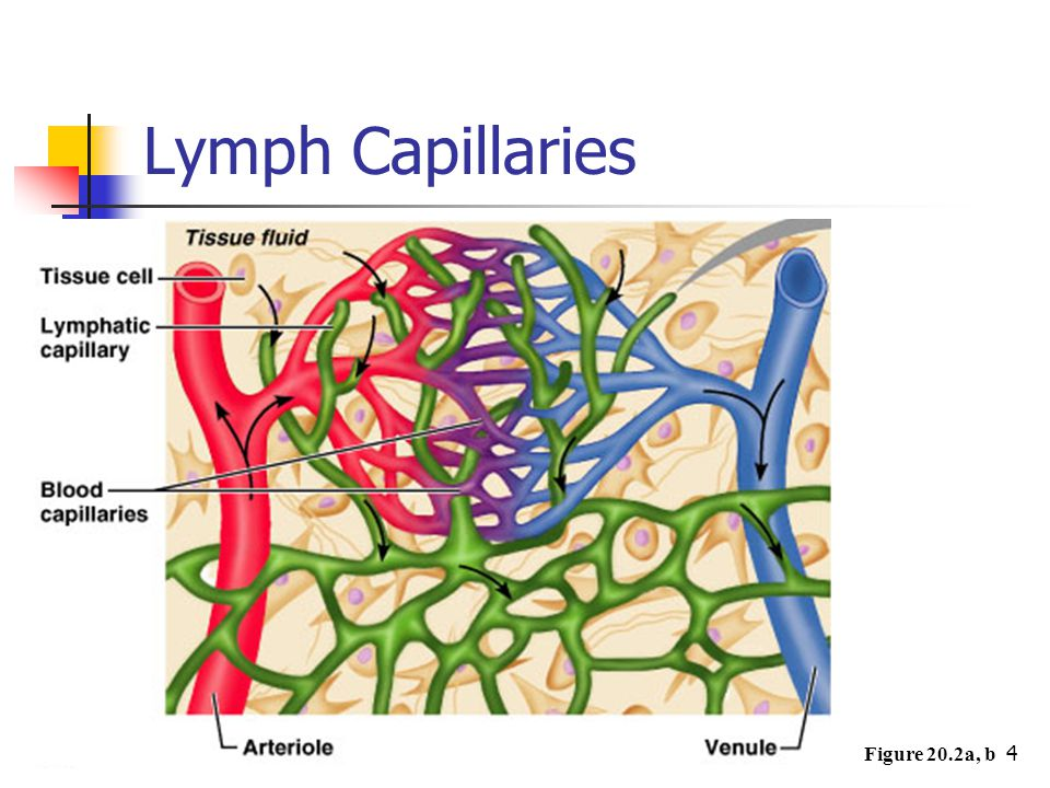 Lymph Capillaries Figure 20.2a, b