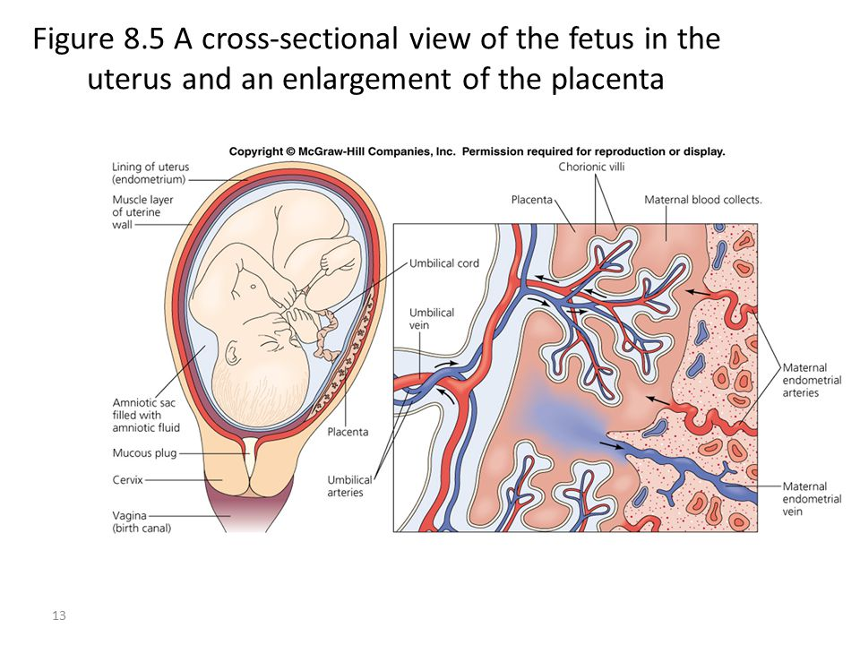 Figure 8.5 A cross-sectional view of the fetus in the uterus and an enlargement of the placenta