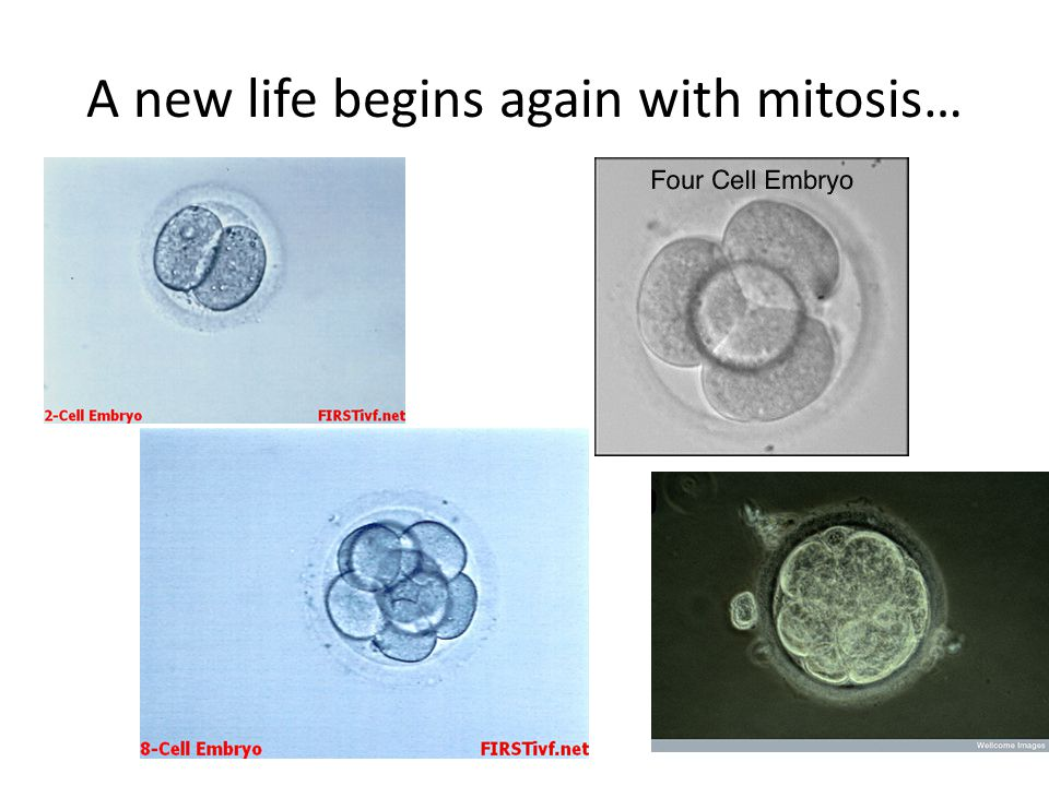 A new life begins again with mitosis…