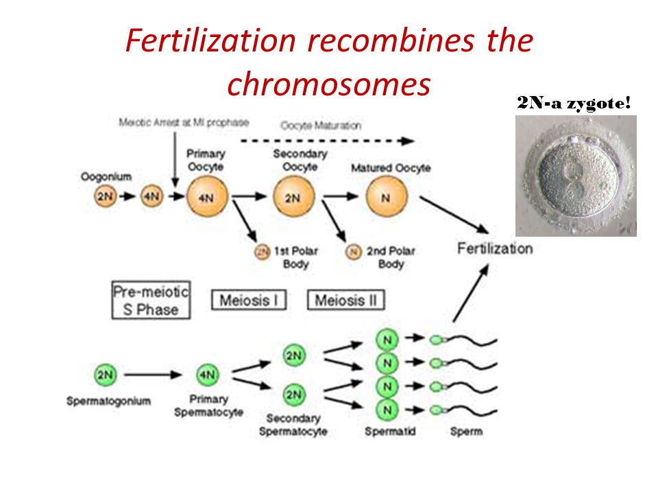 Fertilization recombines the chromosomes