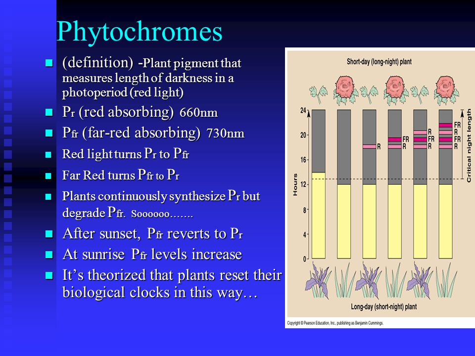 Phytochromes (definition) -Plant pigment that measures length of darkness in a photoperiod (red light)