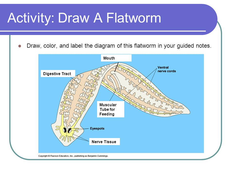 Activity: Draw A Flatworm