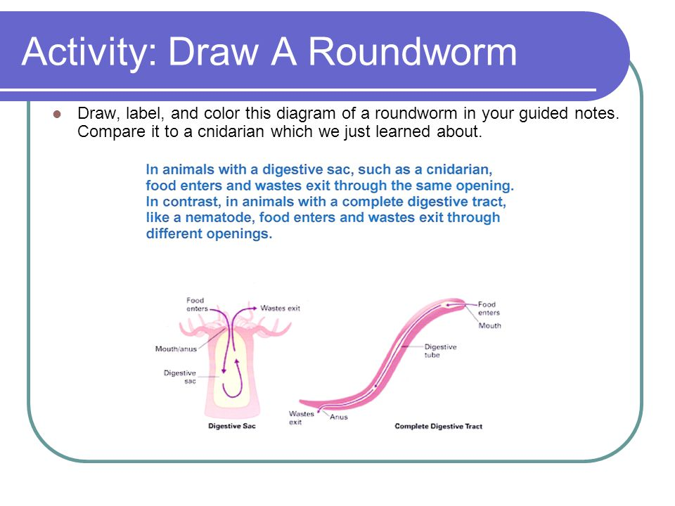 Activity: Draw A Roundworm