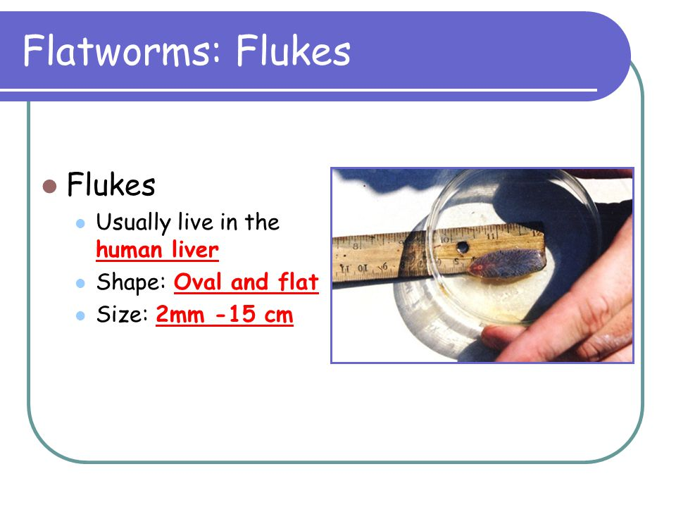 Flatworms: Flukes Flukes Usually live in the human liver