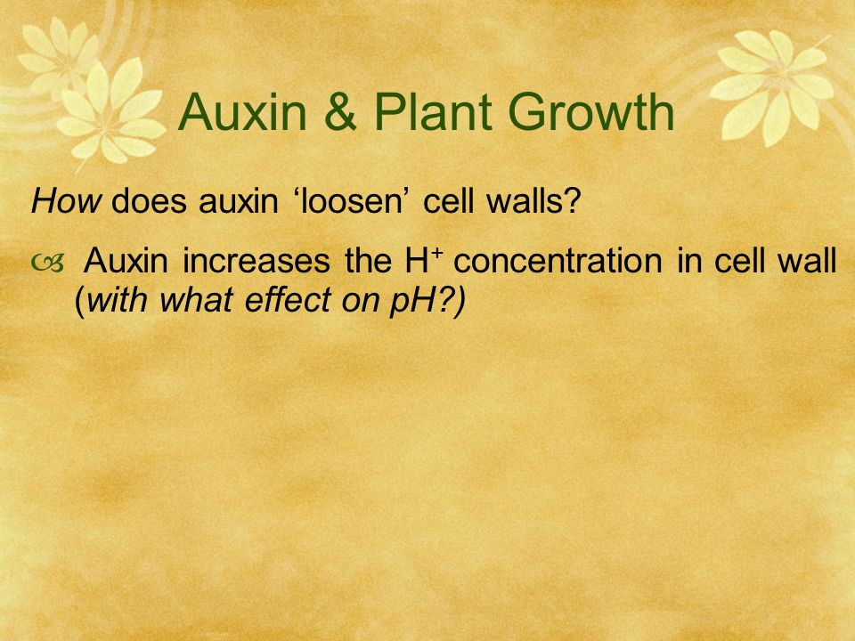 Auxin & Plant Growth How does auxin 'loosen' cell walls