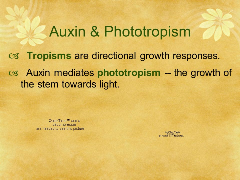 Auxin & Phototropism Tropisms are directional growth responses.