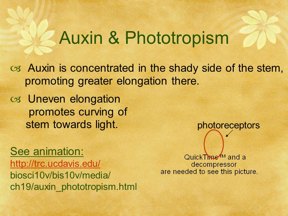Auxin & Phototropism Auxin is concentrated in the shady side of the stem, promoting greater elongation there.