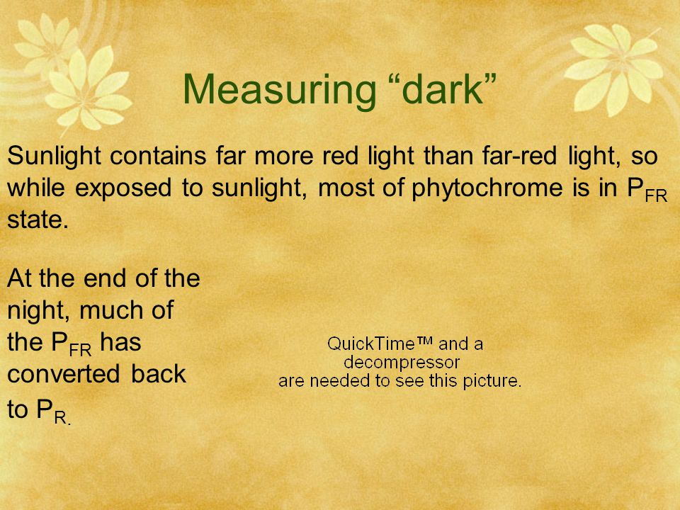 Measuring dark Sunlight contains far more red light than far-red light, so. while exposed to sunlight, most of phytochrome is in PFR.