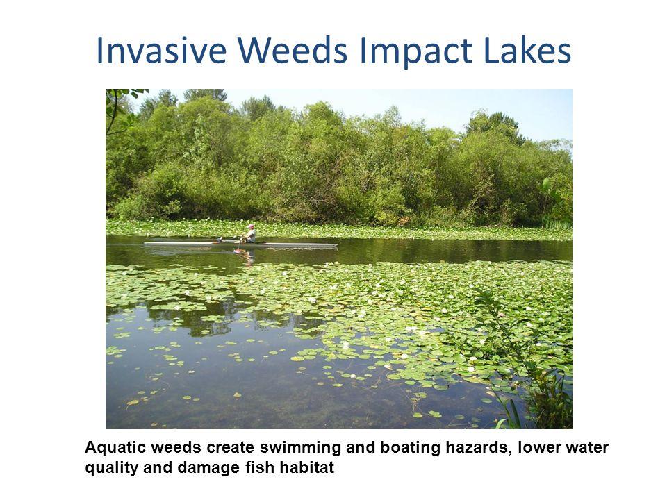 Invasive Weeds Impact Lakes