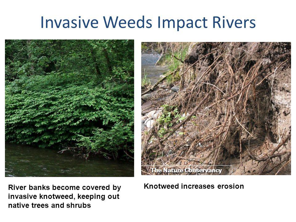Invasive Weeds Impact Rivers