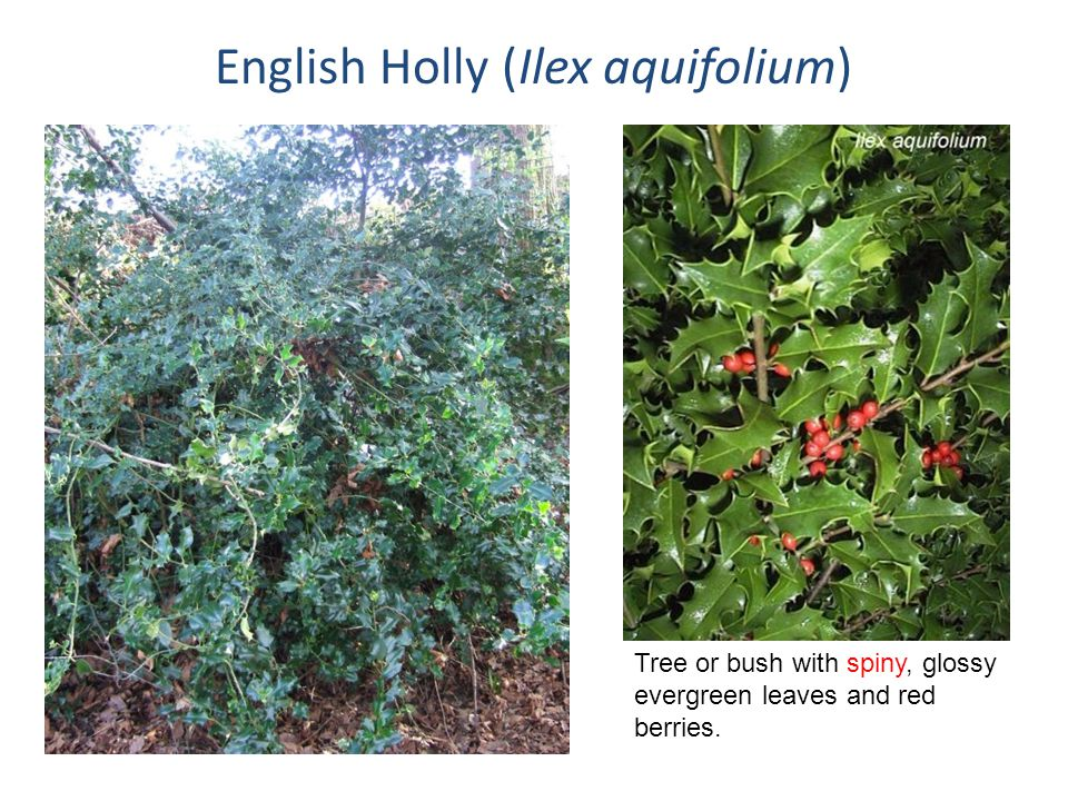 English Holly (Ilex aquifolium)