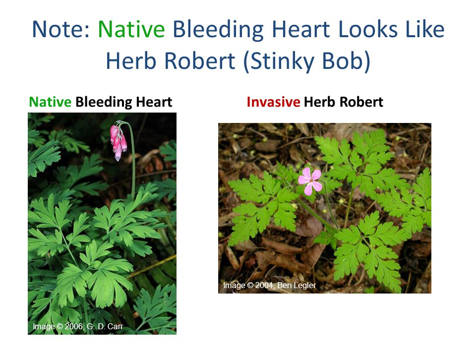 Note: Native Bleeding Heart Looks Like Herb Robert (Stinky Bob)