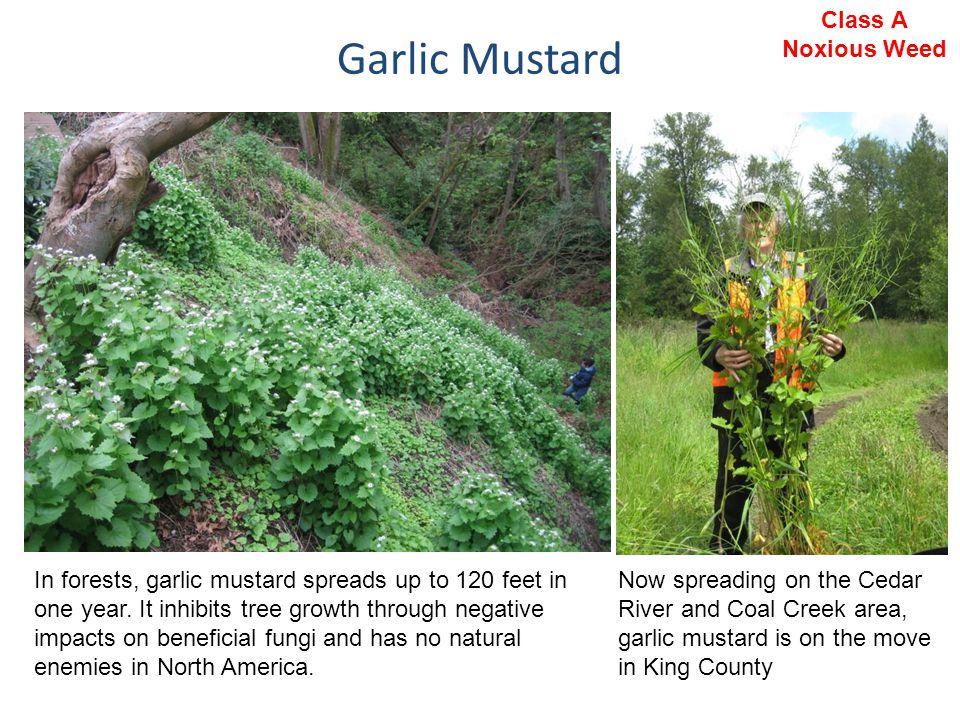 Garlic Mustard Class A Noxious Weed