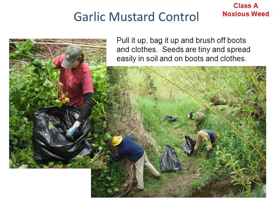 Garlic Mustard Control