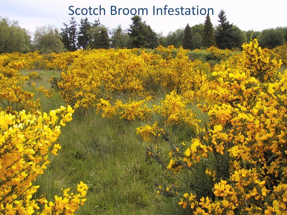 Scotch Broom Infestation