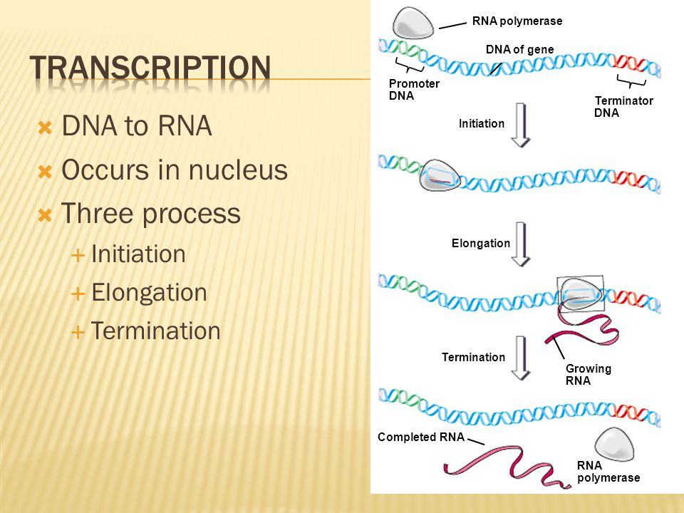 Transcription DNA to RNA Occurs in nucleus Three process Initiation