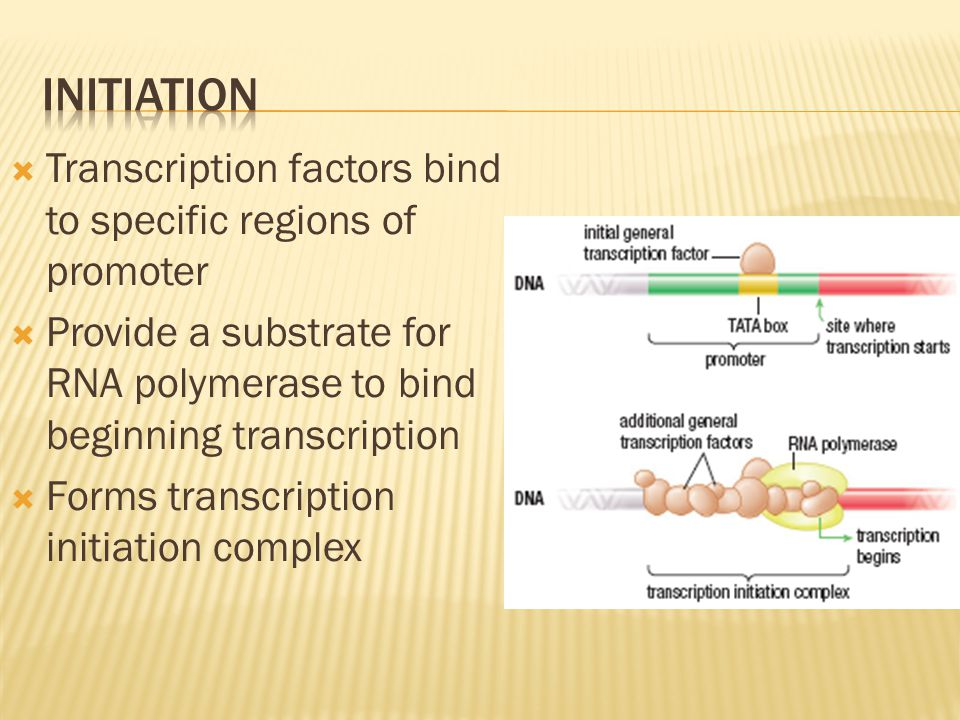 initiation Transcription factors bind to specific regions of promoter