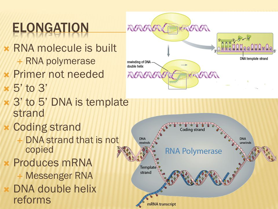Elongation RNA molecule is built Primer not needed 5' to 3'