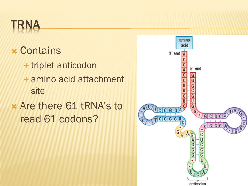 tRNA Contains Are there 61 tRNA's to read 61 codons triplet anticodon