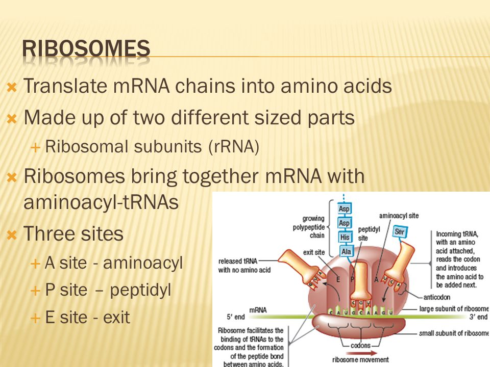 Ribosomes Translate mRNA chains into amino acids