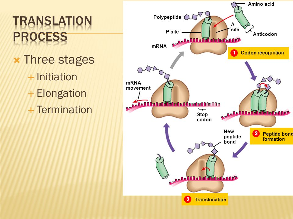 Translation process Three stages Initiation Elongation Termination