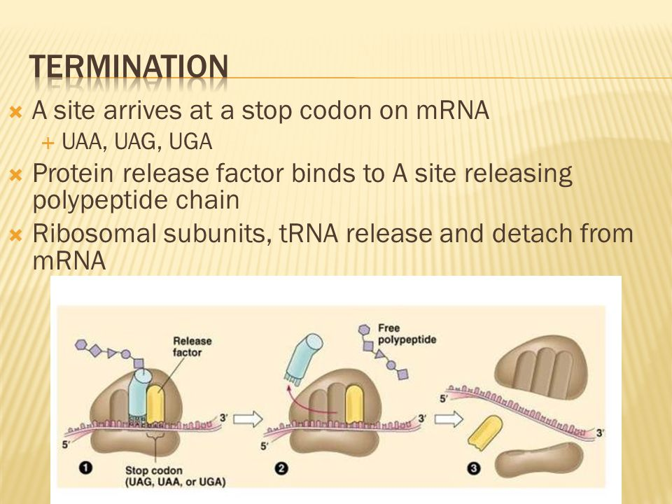 Termination A site arrives at a stop codon on mRNA