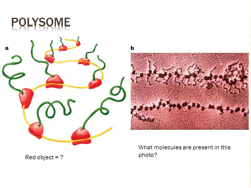polysome a b What molecules are present in this photo Red object =