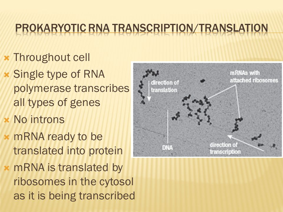 Prokaryotic RNA transcription/Translation