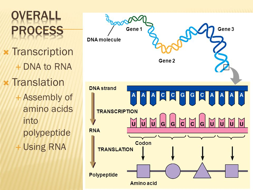 Overall Process Transcription Translation DNA to RNA