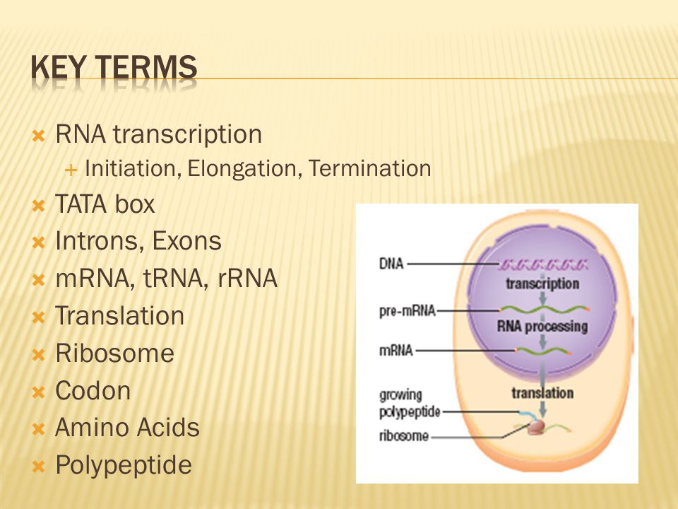 Key Terms RNA transcription TATA box Introns, Exons mRNA, tRNA, rRNA