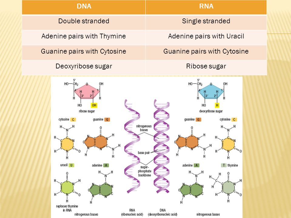 Adenine pairs with Thymine Adenine pairs with Uracil