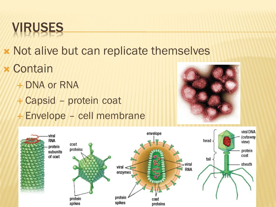 Viruses Not alive but can replicate themselves Contain DNA or RNA