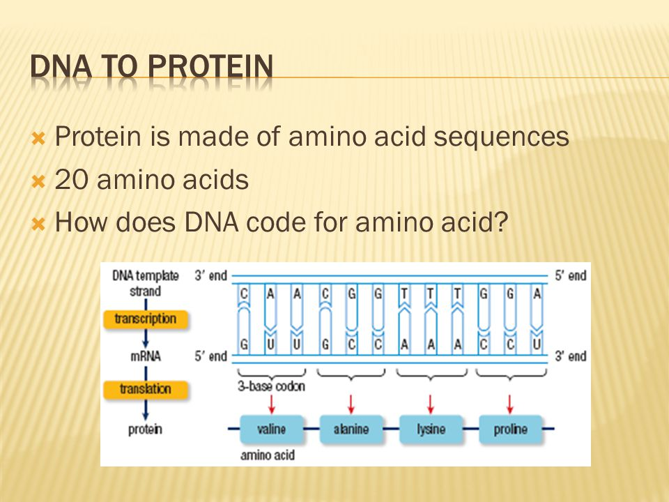 DNA to Protein Protein is made of amino acid sequences 20 amino acids